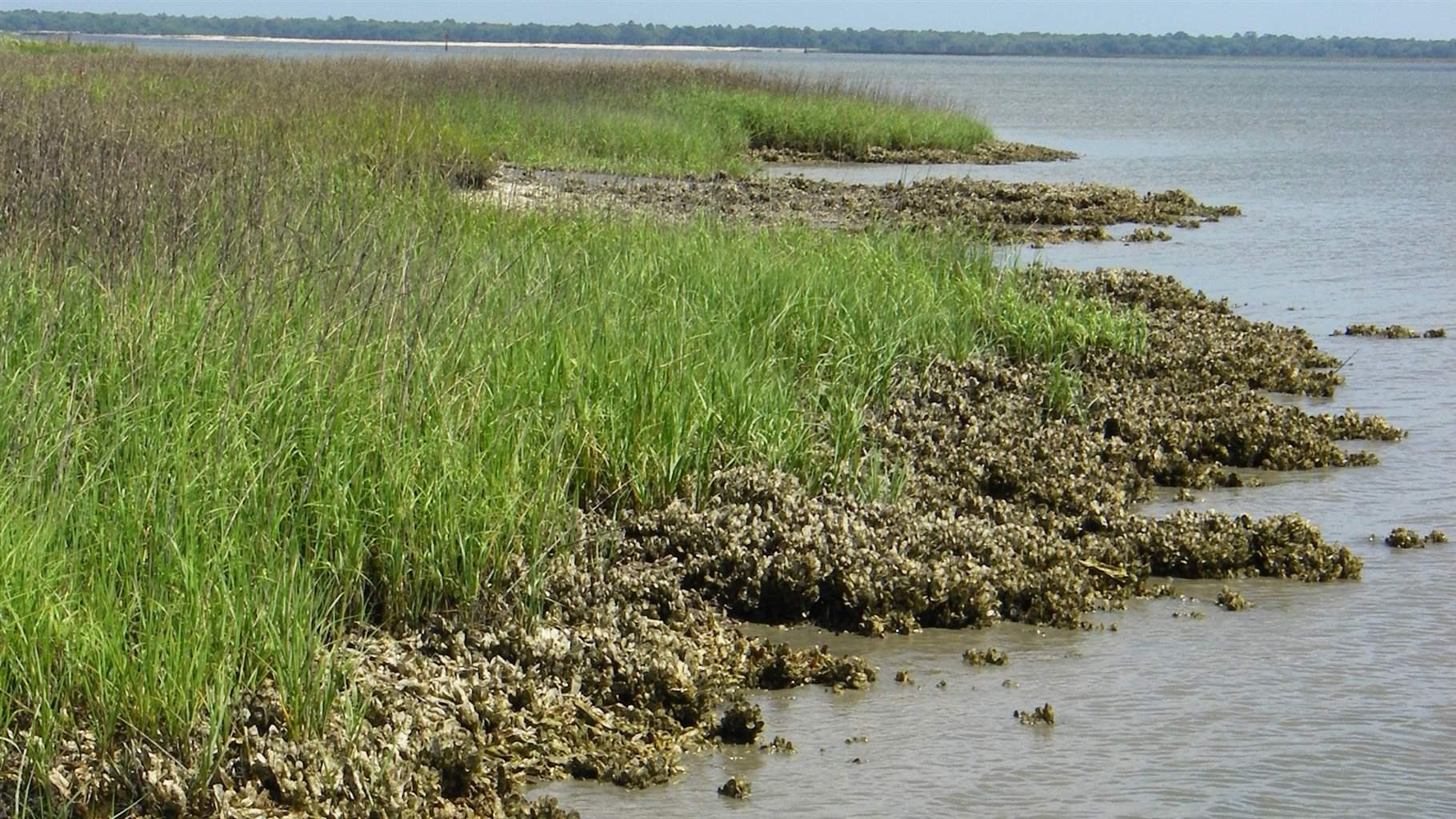 Marsh and seagrass restoration