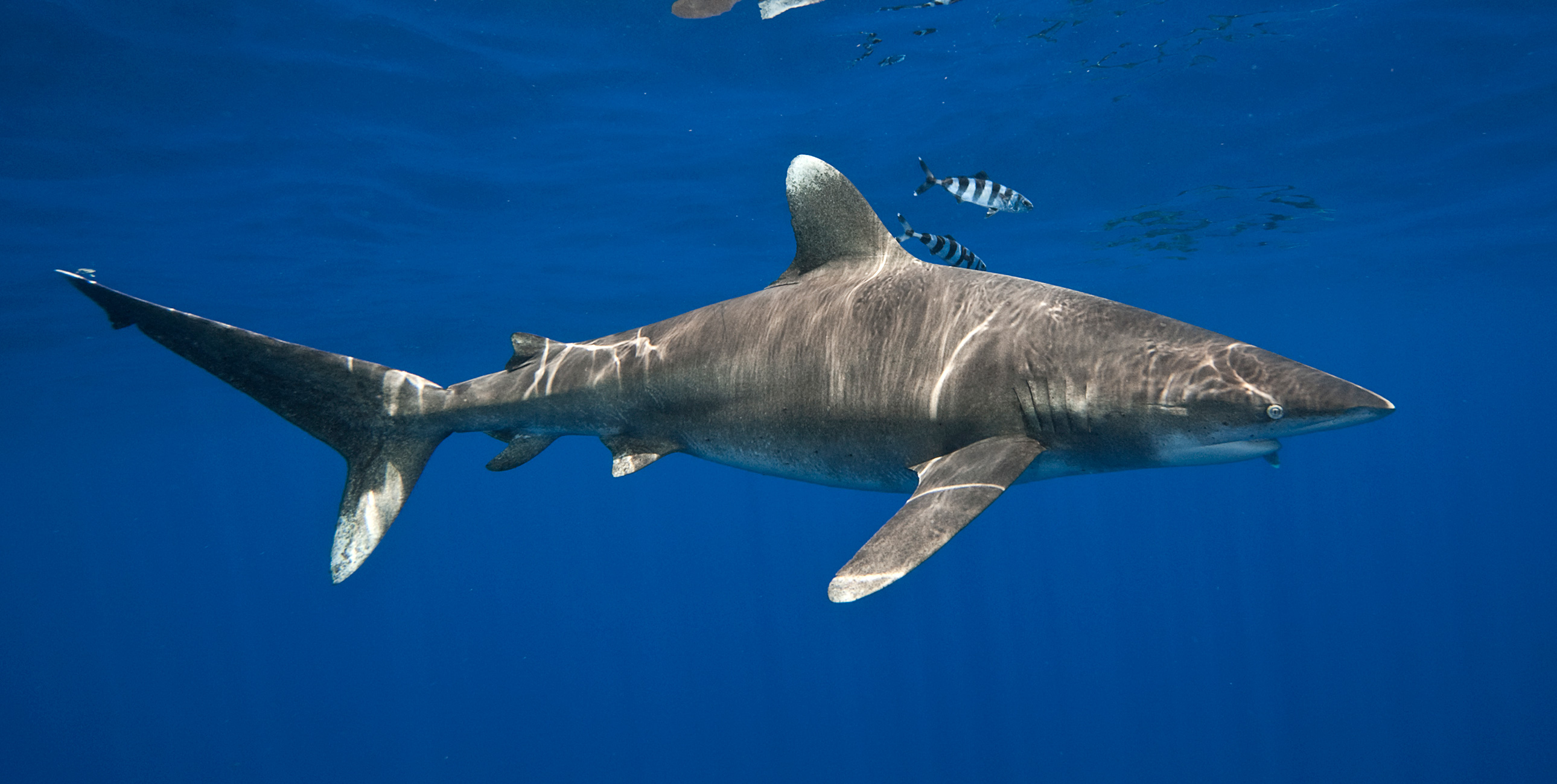 Oceanic Whitetip in Blue Water