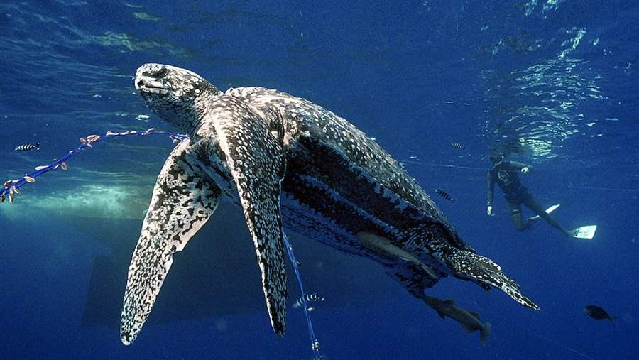 leatherback turtles declined dramatically in the late 20th century